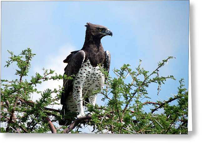Martial Eagle Greeting Cards - Martial Eagle Greeting Card by Ramona Johnston