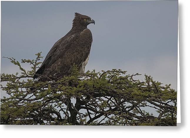 Martial Eagle Greeting Cards - Martial Eagle Greeting Card by Wade Aiken