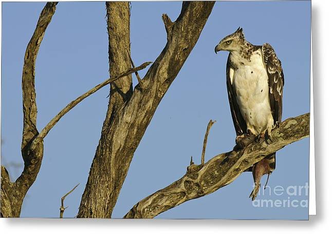 Martial Eagle Greeting Cards - Martial Eagle With Its Prey Greeting Card by John Shaw