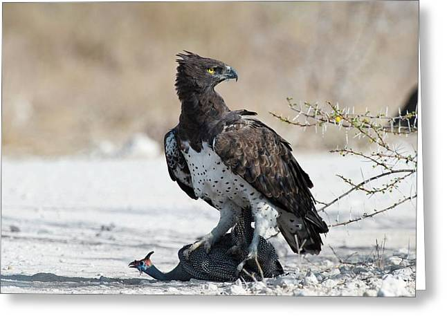 Martial Eagle With Live Guinea Fowl Prey Greeting Card by Tony Camacho