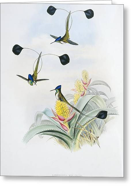 Trochilidae Greeting Cards - Marvellous spatuletails, artwork Greeting Card by Science Photo Library
