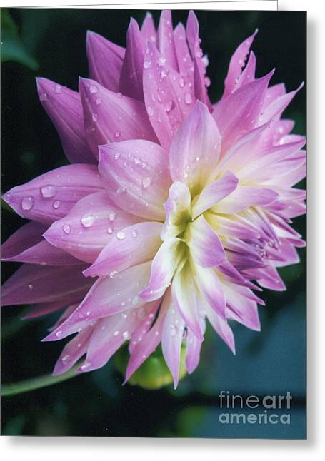 Dinner-plate Dahlia Greeting Cards - Mary Ellens Morning Dew Dahlia Greeting Card by Margie Amberge