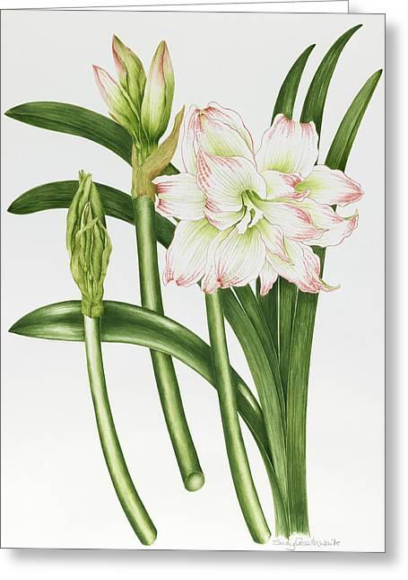 Bouquet Amaryllis Greeting Cards - Mary Lou Amaryllis Greeting Card by Sallly Crosthwaite