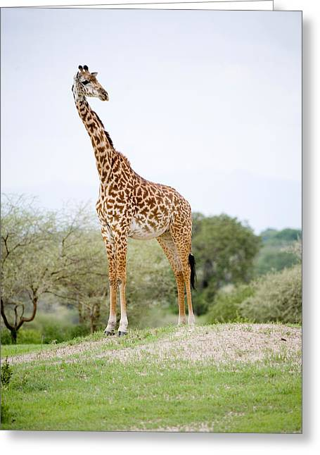 Vertebrate Greeting Cards - Masai Giraffe Giraffa Camelopardalis Greeting Card by Panoramic Images