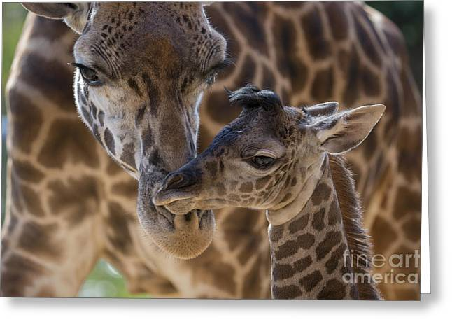 Masai Giraffe And Calf Greeting Card by San Diego Zoo