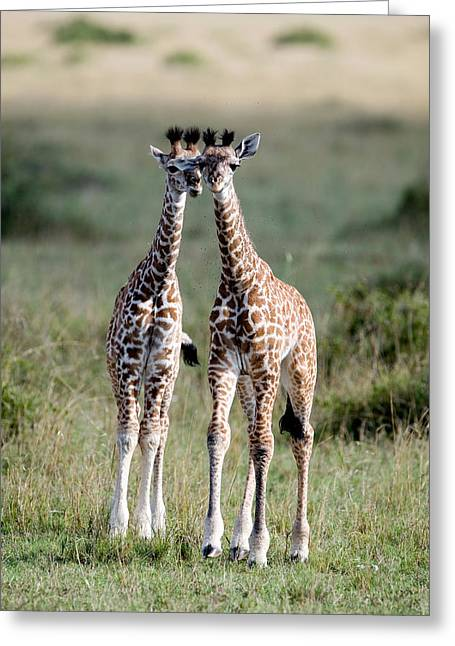 National Reserve Greeting Cards - Masai Giraffes Giraffa Camelopardalis Greeting Card by Panoramic Images
