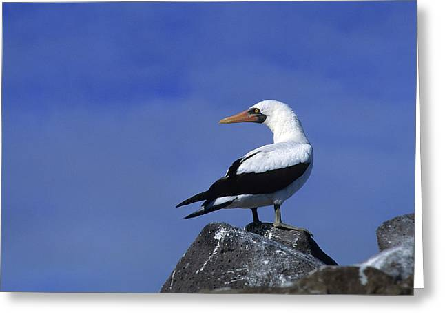 Masked Booby Bird Greeting Card by Thomas Wiewandt