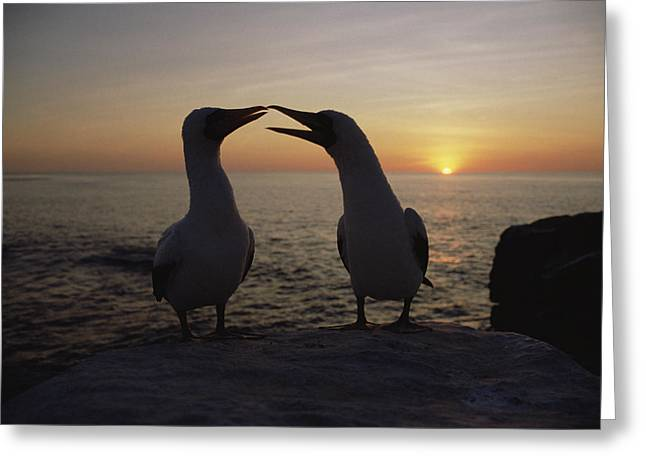 Seabirds Greeting Cards - Masked Booby Couple Courting Galapagos Greeting Card by Konrad Wothe