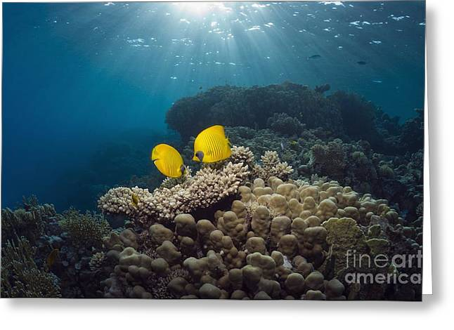 Chaetodon Semilarvatus Greeting Cards - Masked Butterflyfish On A Reef Greeting Card by Georgette Douwma