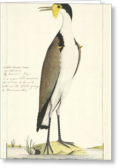 Lapwing Greeting Cards - Masked Lapwing, 18th Century Greeting Card by Natural History Museum, London