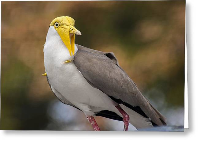 Wattle Greeting Cards - Masked Lapwing Greeting Card by Carolyn Marshall