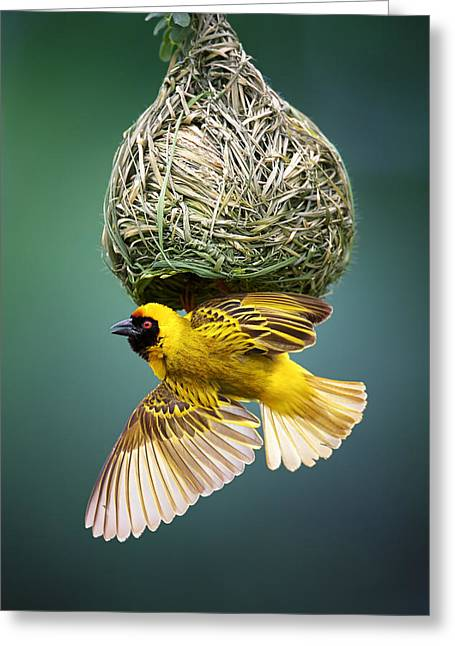 Fauna Greeting Cards - Masked weaver at nest Greeting Card by Johan Swanepoel