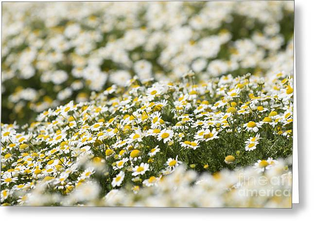 Many Greeting Cards - Masses of Mayweed Greeting Card by Anne Gilbert