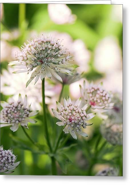 Masterwort (astrantia Major) Flowers Greeting Card by Adrian Thomas
