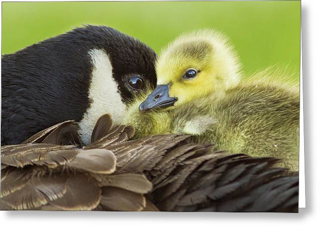 Baby Bird Greeting Cards - Maternal Love Greeting Card by Mircea Costina Photography