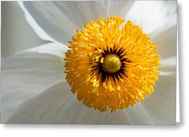Flowers In California Greeting Cards - Matilija Poppy Flower Romneya Coulteri Greeting Card by Panoramic Images