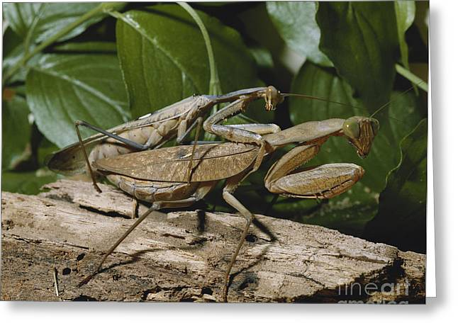 Preying Mantis Greeting Cards - Mating African Mantises Greeting Card by Buchold/Okapia