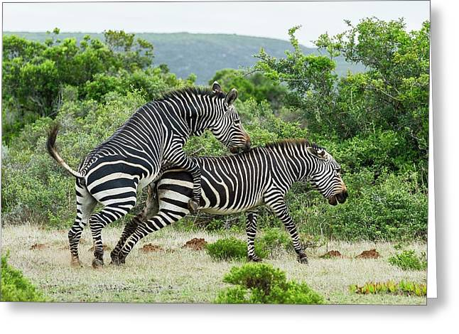 Mating Cape Mountain Zebras Greeting Card by Peter Chadwick