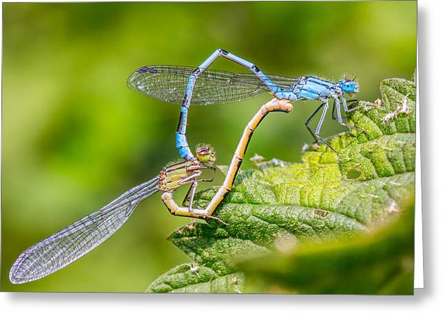 Damsel Fly Greeting Cards - Mating Damselflies. Greeting Card by Gary Gillette