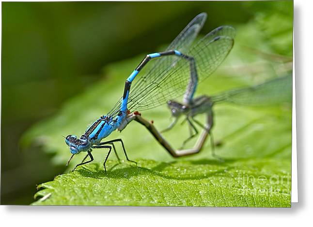 Damselfly Greeting Cards - Mating Damselflies Greeting Card by Sharon  Talson