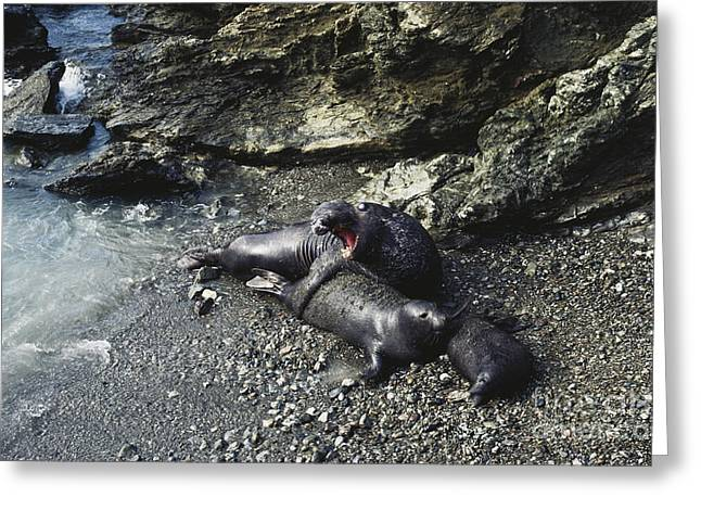 Mounting Greeting Cards - Mating Elephant Seals Greeting Card by Gregory G. Dimijian, M.D.