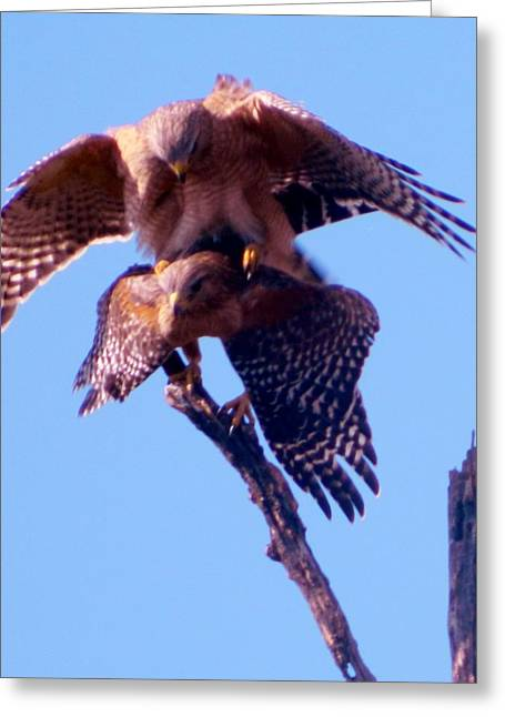 Bird Greetingcards Greeting Cards - Mating Hawks Greeting Card by Gunter  Hortz