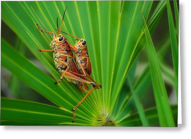 Romalea Microptera Greeting Cards - Mating Southeastern Lubber Grasshoppers Greeting Card by Rich Leighton