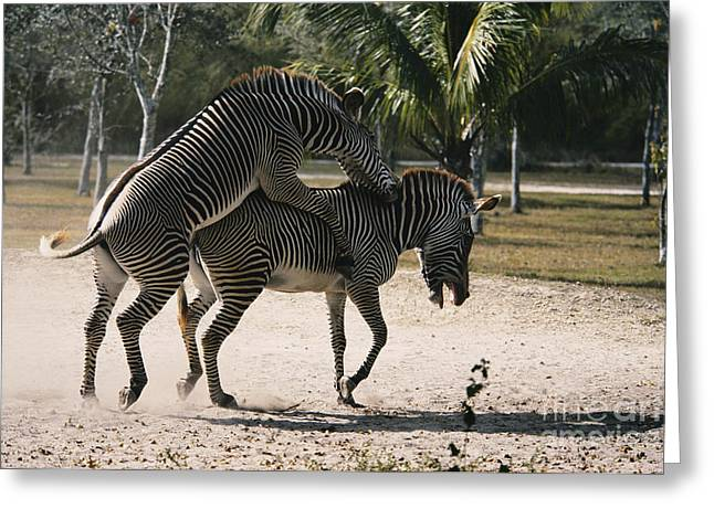 Mounting Greeting Cards - Mating Zebras Greeting Card by Mark Newman