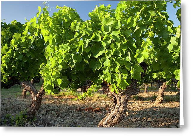 Mature Grapevines Near Roussillon Greeting Card by Brian Jannsen