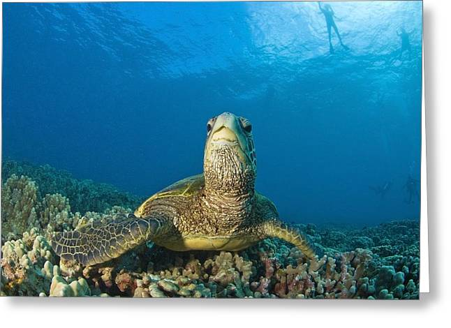 Environmental Concerns Greeting Cards - Maui Hawaii Usa Green Sea Turtle Greeting Card by Stuart Westmorland