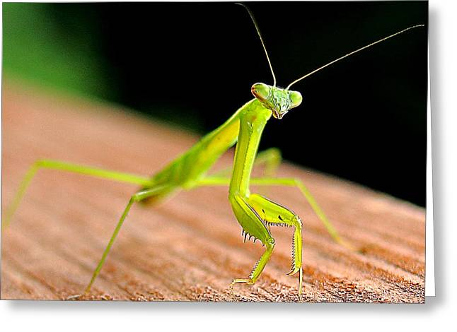 Praying Mantis Greeting Cards - May I Help You Greeting Card by Michael Eingle
