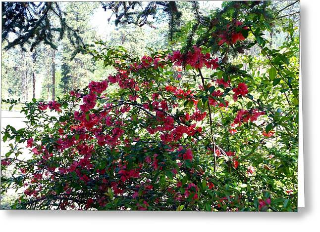 Fir Trees Greeting Cards - May Japonica Greeting Card by Will Borden