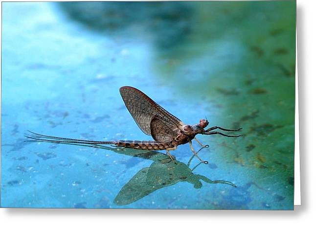 Thomas Young Greeting Cards - Mayfly Reflected Greeting Card by Thomas Young