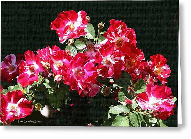Mcc Greeting Cards - MCC Rose Garden- Roses Greeting Card by Tom Janca