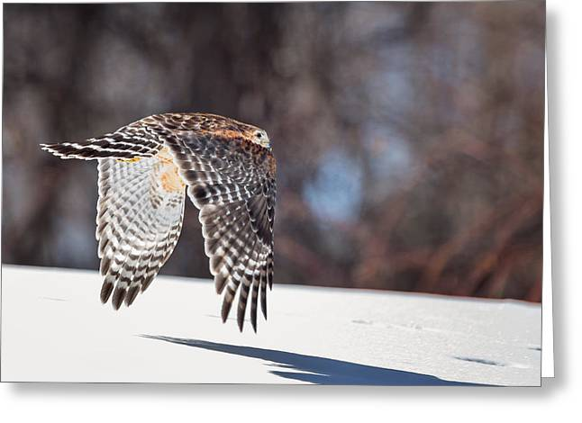 Red Shouldered Hawk Greeting Cards - Me And My Shadow Greeting Card by Bill Wakeley