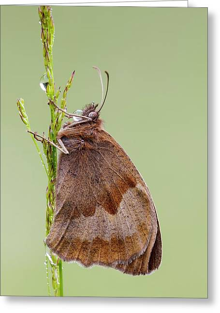 Meadow Brown Butterfly Greeting Card by Heath Mcdonald