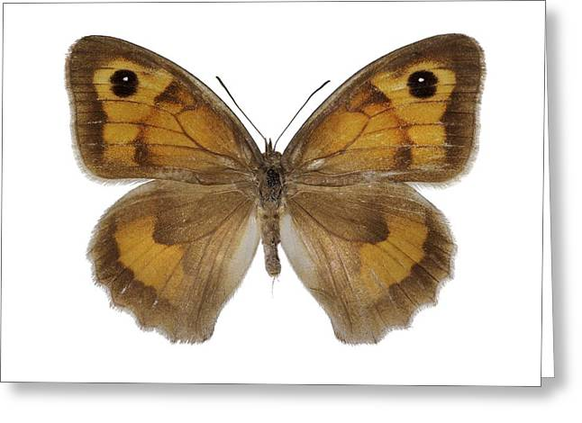 Cut-outs Greeting Cards - Meadow brown Greeting Card by Science Photo Library