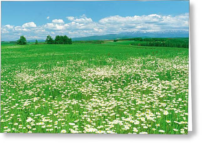 Botany Greeting Cards - Meadow Flowers, Daisy Field Greeting Card by Panoramic Images