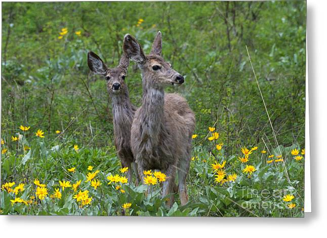 White-tail Deer Greeting Cards - Meadow Meal Greeting Card by Mike  Dawson