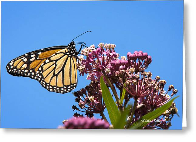 Butterfly On Flower Greeting Cards - Meadow Monarch Greeting Card by Christina Rollo