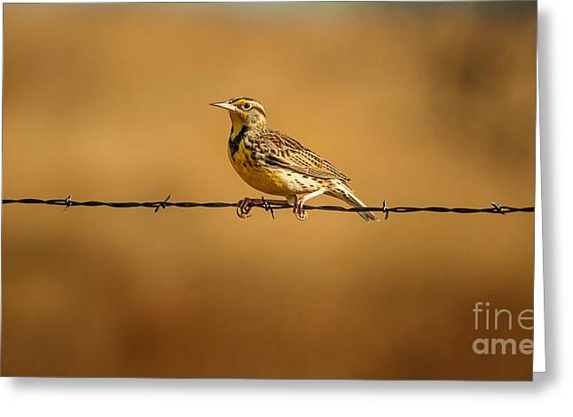 Meadowlark And Barbed Wire Greeting Card by Robert Frederick