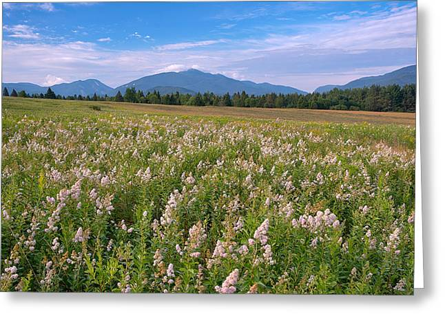 """adirondack Park"" Greeting Cards - Meadowsweet Flowers Adorning The Plains Greeting Card by Panoramic Images"