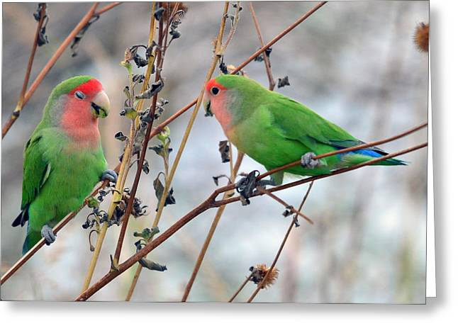 Peach-faced Lovebird Greeting Cards - Meal Time Greeting Card by Eduardo  Dinero