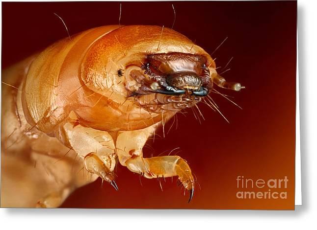 Metamorphism Greeting Cards - Mealworm Beetle Larva Greeting Card by Matthias Lenke