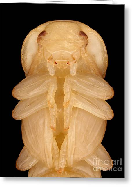Mealworm Beetle Pupa Greeting Card by Matthias Lenke