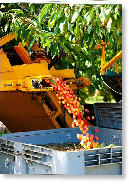 Shaking Greeting Cards - Mechanical Harvester Shaking Cherry Greeting Card by Panoramic Images