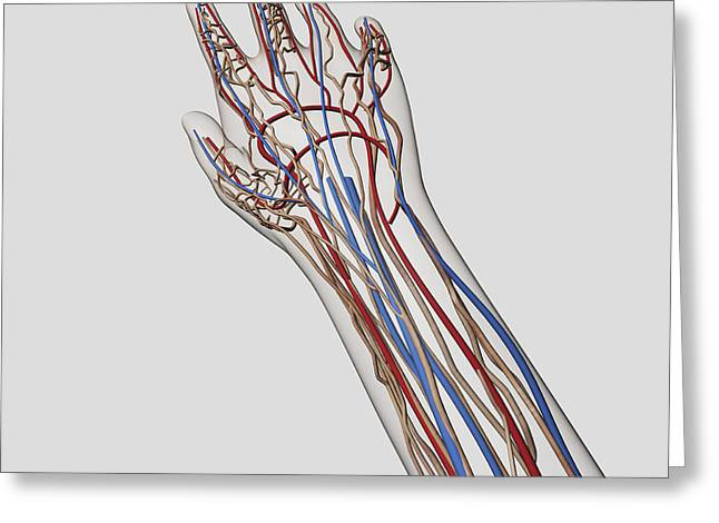 Digital Artery Greeting Cards - Medical Illustration Of Arteries, Veins Greeting Card by Stocktrek Images