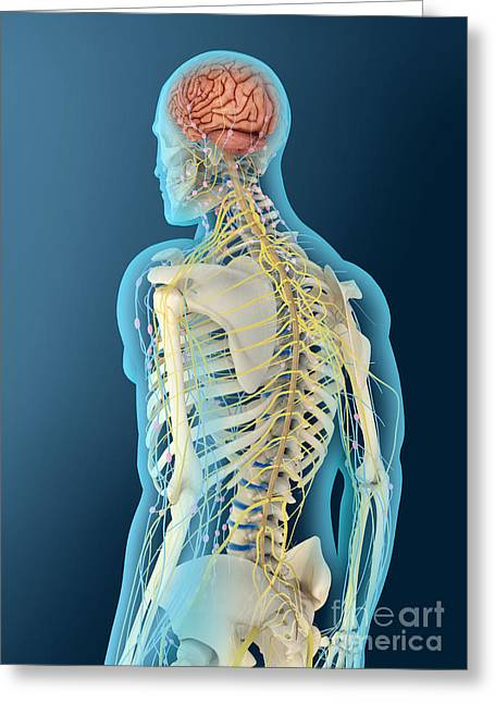 Floating Ribs Greeting Cards - Medical Illustration Of Human Brain Greeting Card by Stocktrek Images