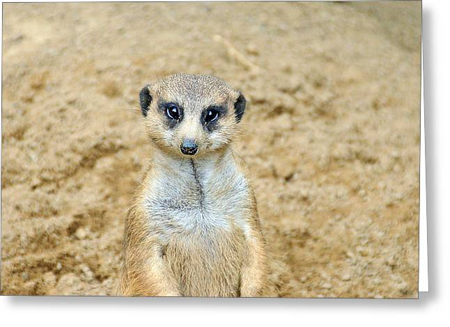 Amimal Greeting Cards - Meerkat Greeting Card by Aimee L Maher Photography and Art