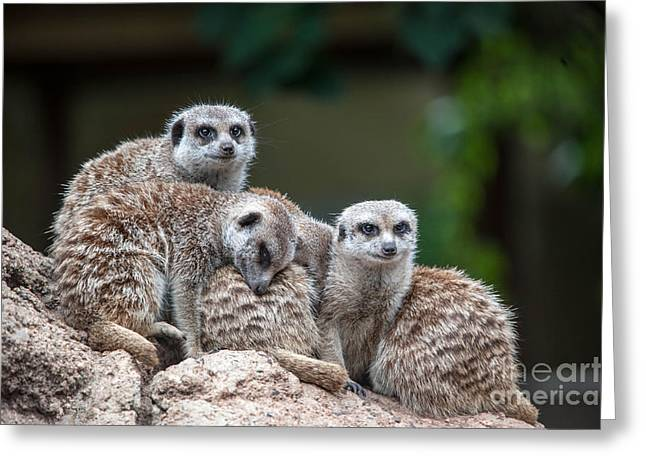 Mouth Guard Greeting Cards - Meerkat Family Greeting Card by Ray Warren